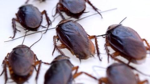 Las cucarachas como plaga