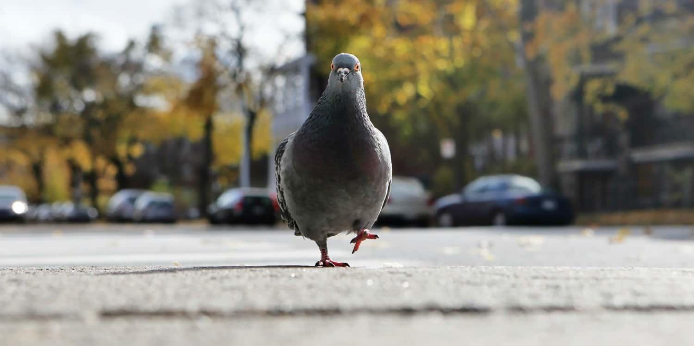 Curiosidades sobre palomas
