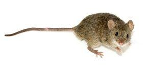 Curiosidades sobre roedores