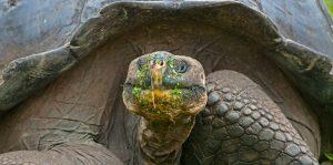 tortuga galápagos